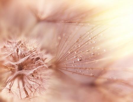 blowball: Fluffy blowball dandelion