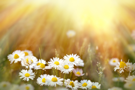 marguerite: Fleurs de printemps de DAISIE illumin�es par le soleil l'apr�s-midi