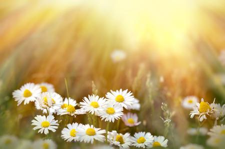 flores de primavera DAISIE iluminadas por el sol de la tarde Foto de archivo