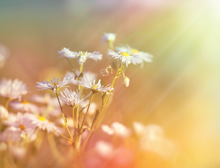 bathed: Meadow flowers - daisy flowers bathed in sunlight