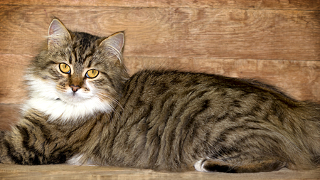 adroitness: Cat - Maine Coon main coon posing