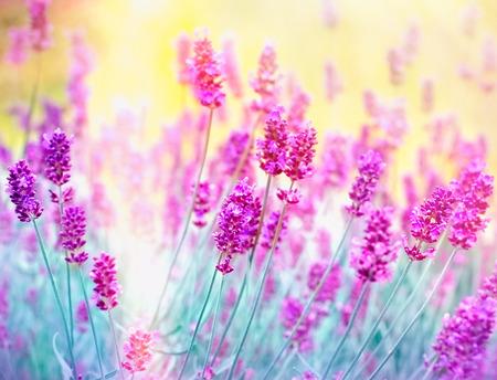라벤더 꽃 - 햇빛에 의해 불이 아름다운 라벤더 꽃