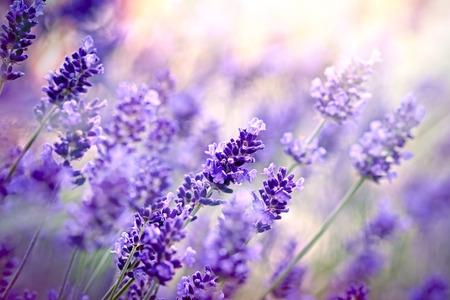 Lavendel bloemen in de bloementuin Stockfoto