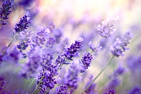 Lavender flowers in flower garden Stock Photo