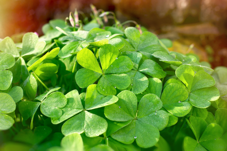 three leaf clover: Clover - leaves of clover Stock Photo