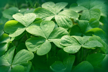three leafed: Clover in meadow - clover leaves Stock Photo