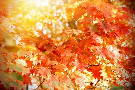 suns: The suns rays through the oak tree