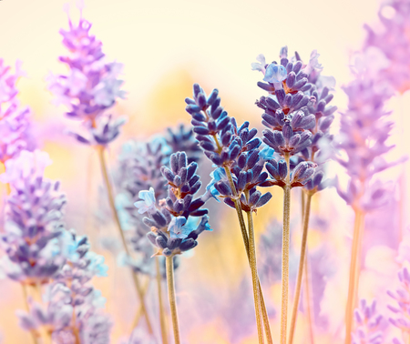 Красивая цветок лаванды Фото со стока