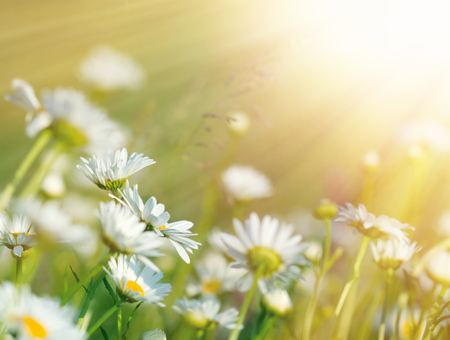 Beautiful daisy flowers in meadow lit by sunbeams - sun rays
