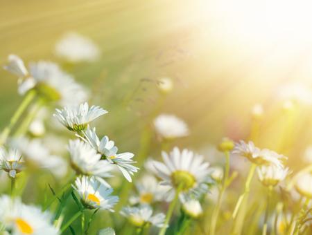 Beautiful daisy flowers in meadow lit by sunbeams - sun rays