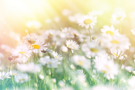 bathed: Beautiful daisy flowers bathed in sunlight