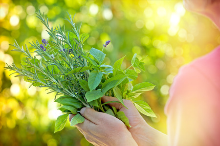 Fresh herbs - spices in womans hands