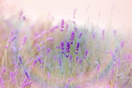 Gyönyörű levendula virágoskertben Stock fotó