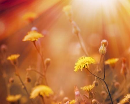 Les fleurs de pissenlit éclairée par les rayons du soleil