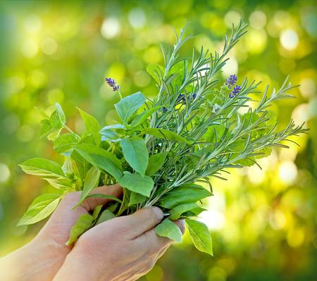 Les herbes fraîches - épices dans les mains