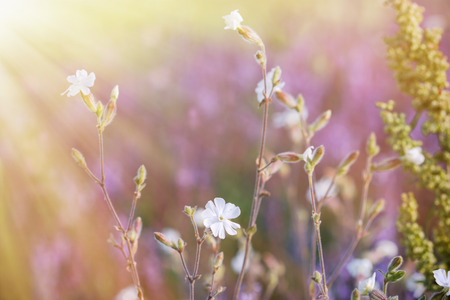 White flowers in meadow lit by sun rays Stock Photo