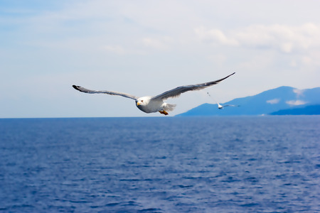 disseminate: Seagull  flying over sea Stock Photo