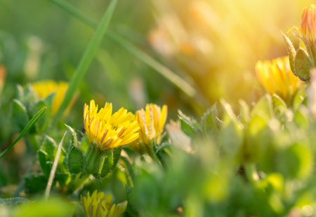 yellow stamens: Spring flowers - yellow flowers in meadow lit by sunlight Stock Photo