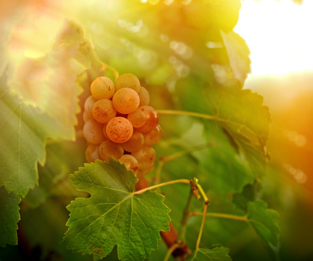 riesling: Grape Riesling in vineyard in late afternoon lit by sun rays Stock Photo