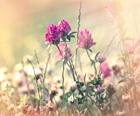 red clover: Red clover flowers lit by sun rays