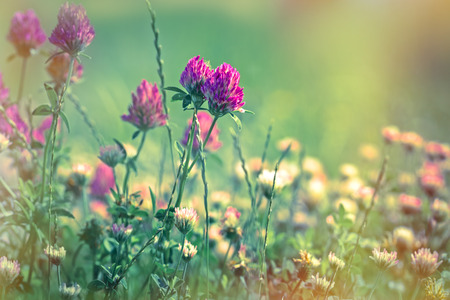 red clover: Flowering - blooming red clover