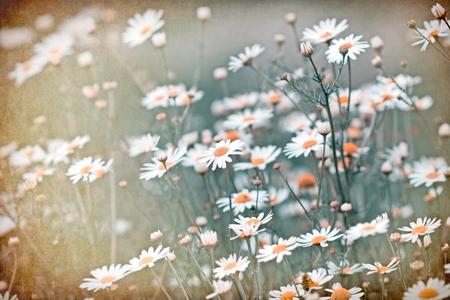 soft   focus: Soft focus on daisy flowers Stock Photo