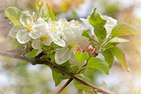 fruit tree: Blooming, flowering apple branch