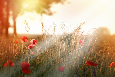 selective focus: Sunset in field of red poppy flowers