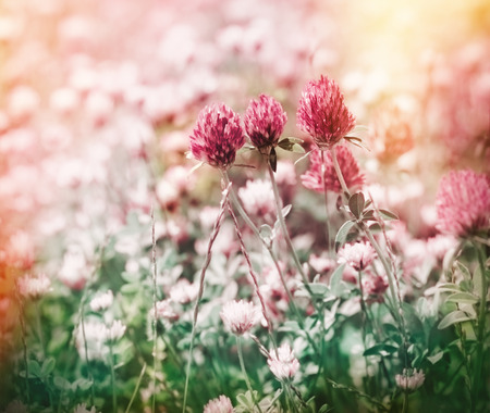 red clover: Flowering red clover in meadow in spring Stock Photo