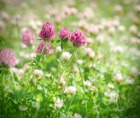 red clover: Flowering red clover in spring Stock Photo