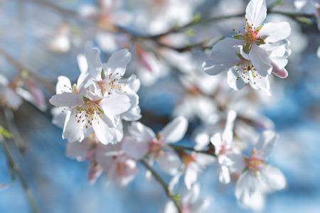 Spring flowering fruit trees