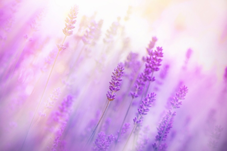 Soft focus on beautiful lavender