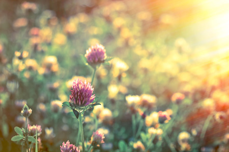flores moradas: Sunset  in meadow - flowering red clover