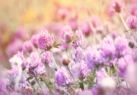 red clover: Beautiful flowering  red clover