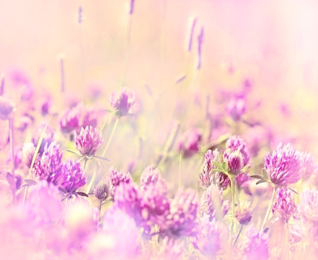 red clover: Red clover in meadow - Flowering red clover