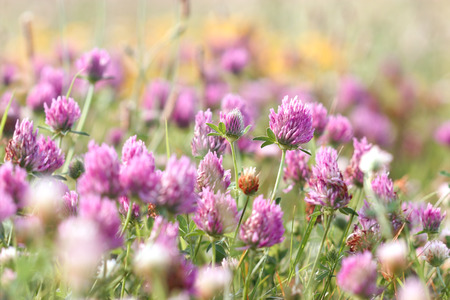 red clover: Flowering red clover in meadow - springtime
