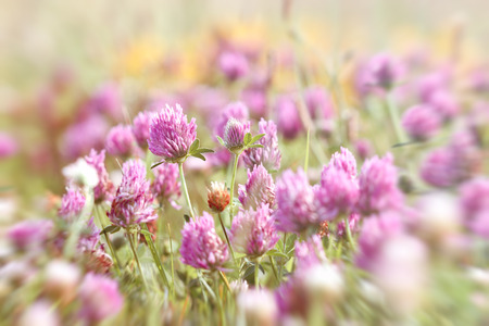 red clover: Flowering red clover in meadow - in spring