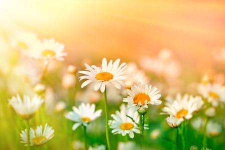 Hermosas flores de margarita en un prado