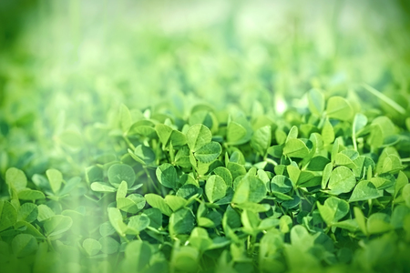 three leafed: Clover covered ground