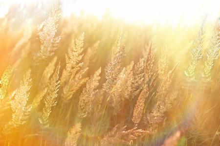 selective focus: Beautiful high grass, grass seeds lit by sun rays (sunbeams)