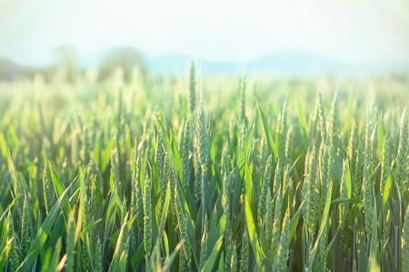 green wheat: Green wheat - unripe wheat (wheat field)