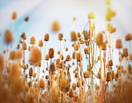 noxious: Thistle field - burdock field Stock Photo