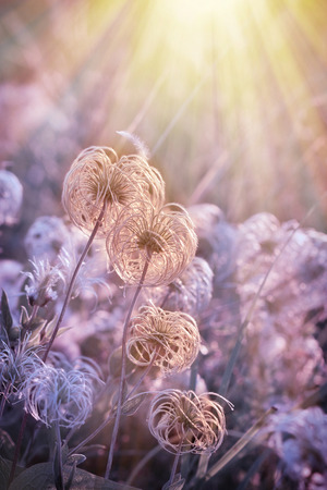 pappus: Fluffy - softness flower lit by sun rays Stock Photo