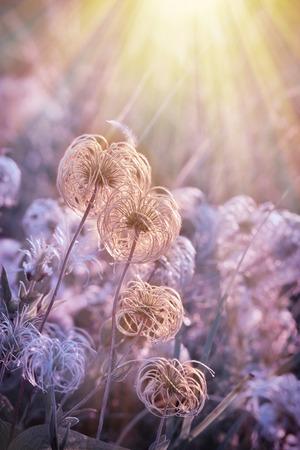 sun lit: Fluffy - softness flower lit by sun rays Stock Photo
