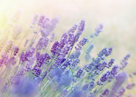 beauty in nature: Beautiful lavender flower