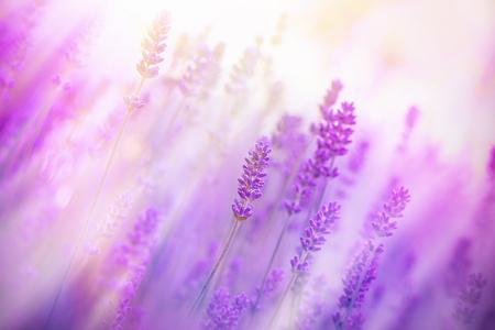 soft   focus: Soft focus on lavender flowers Stock Photo