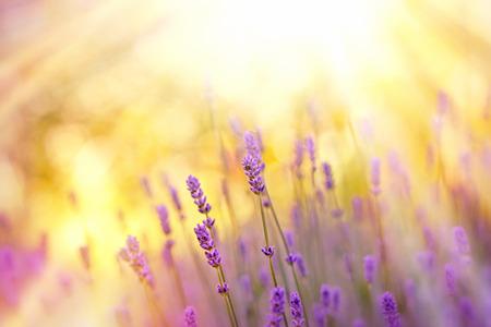 Soft focus op lavendel verlicht door zonnestralen - zonnestralen