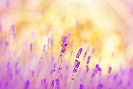 blooming  purple: Soft focus on lavender illuminated by sunlight Stock Photo