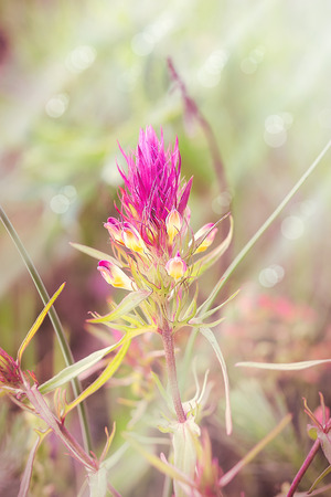 suns: Mountain purple flower lit by the morning suns rays Stock Photo