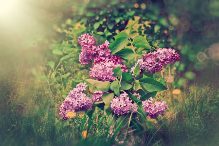 out of doors: Lilac flower in vase out doors